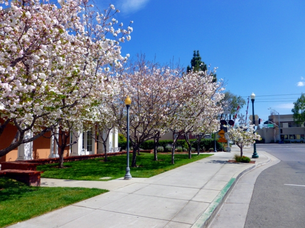 Blossoming tree lined street