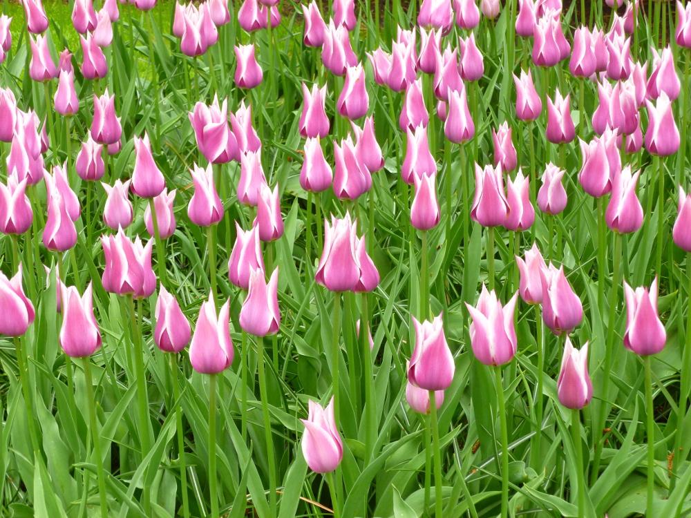 Ballade tulips 1