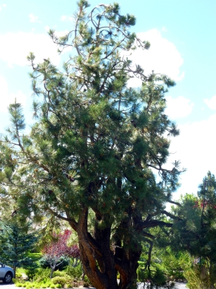 Pine tree in front of the club house.