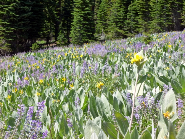 Wildflowers, Alpine Meadows, 2011