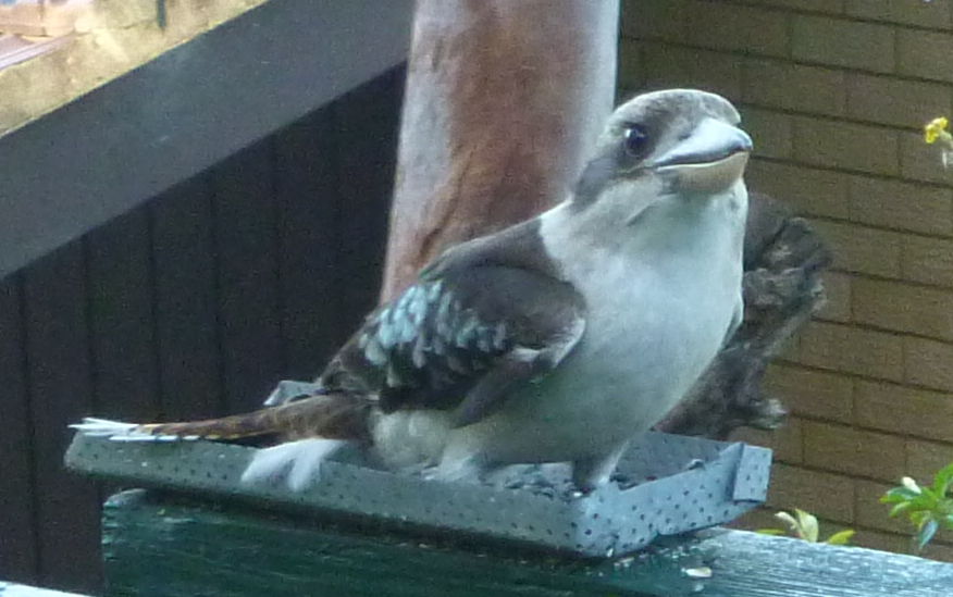 Kookaburra close up