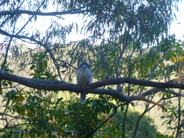 Kookaburra waiting for dinner
