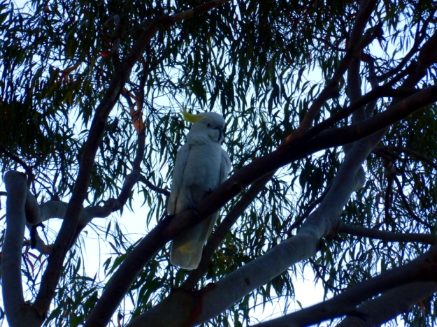 Sulphur-crested cockatoo low in the pecking order has to wait