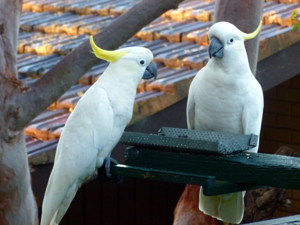 Sulphur-crested cockatoos coming feeding
