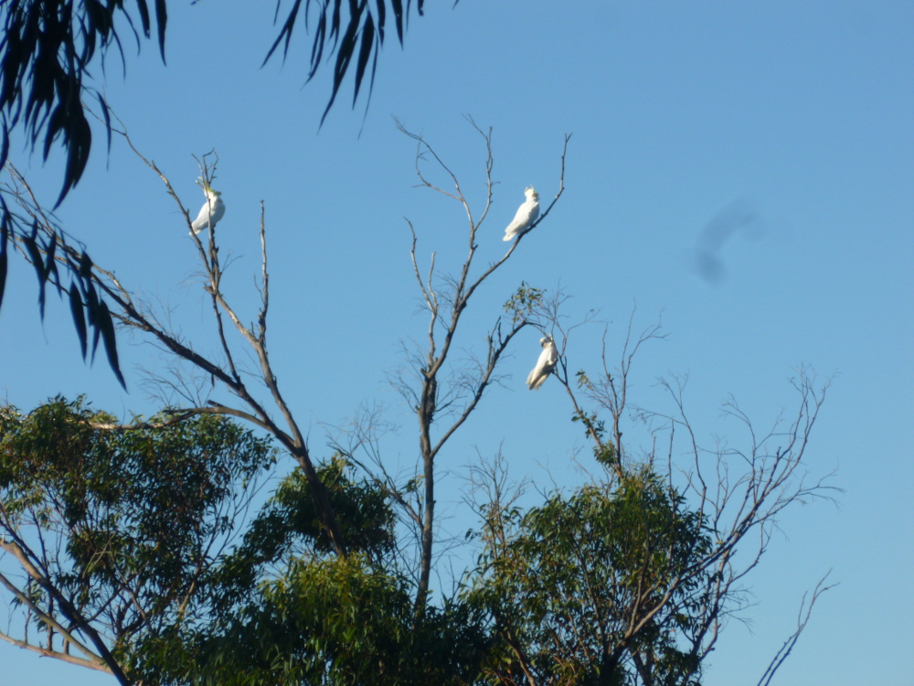 Sulphur-crested cockatoos coming in