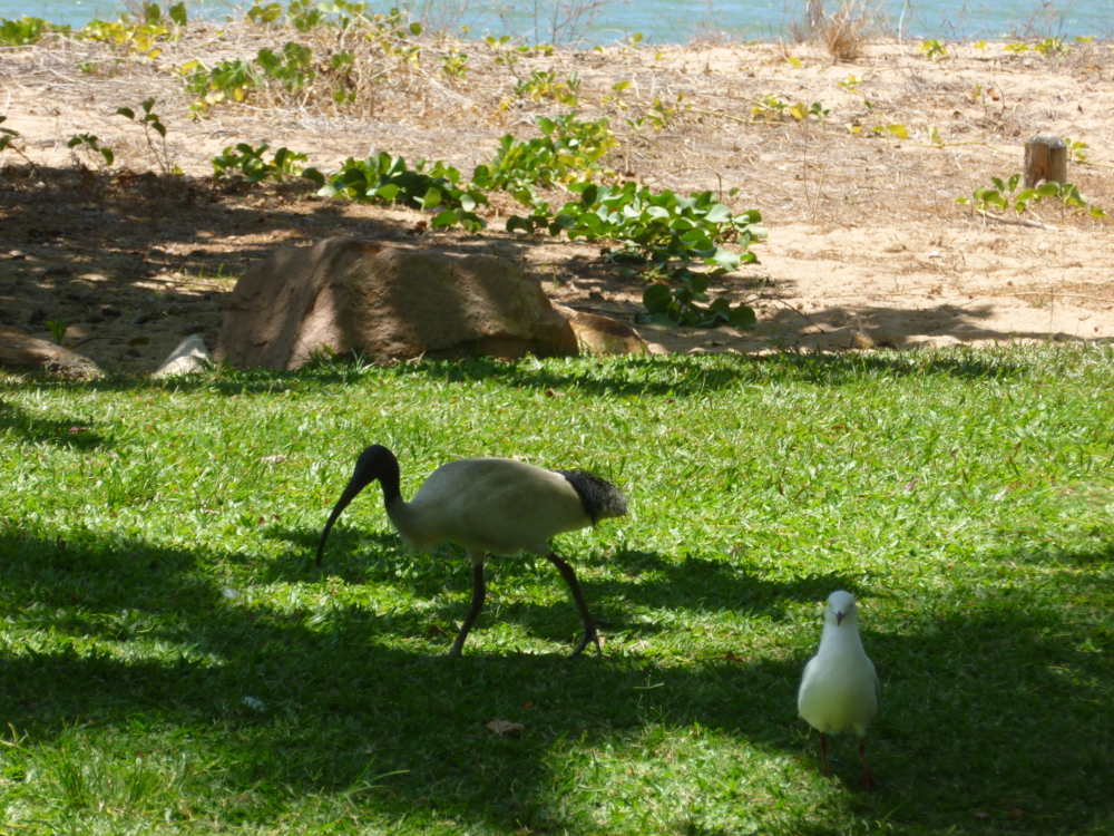 Ibis and gull on the Strand