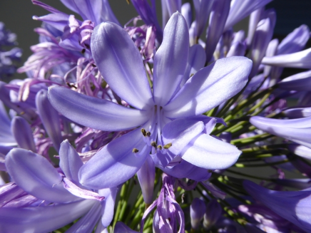 agapanthus-flower-Panasonic