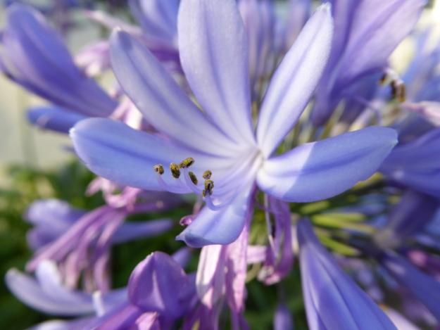 agapanthus-flower-stamens-Panasonic