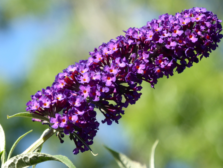 butterfly-bush-flower