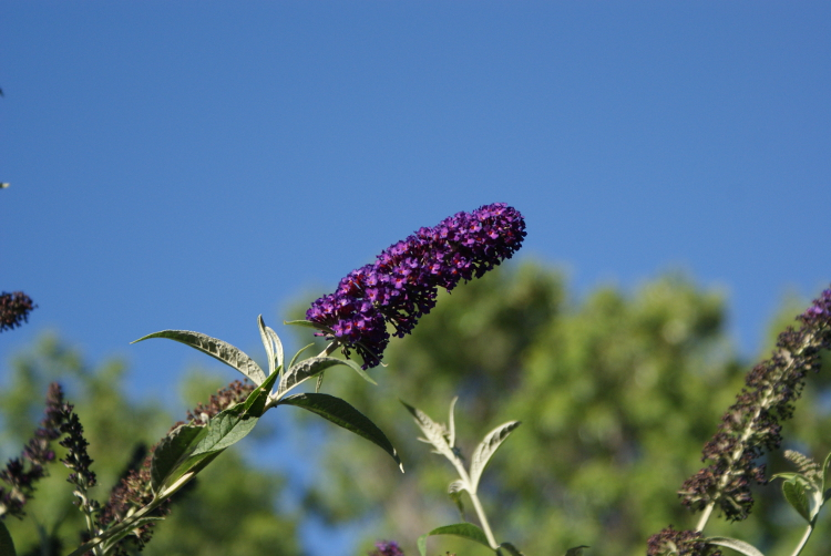 SONY-DSC300-butterfly-bush