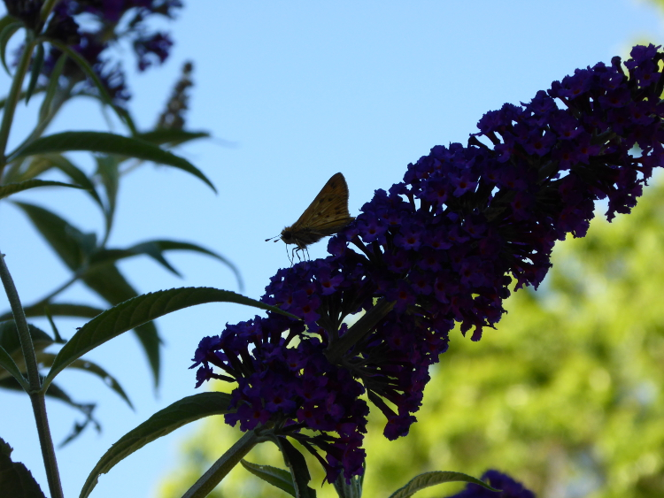 butterfly-butterfly-bush-flower