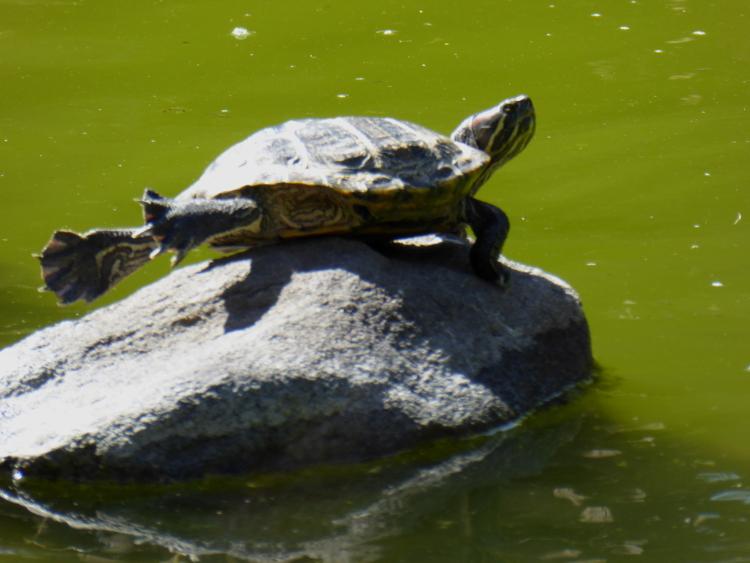 hakone-gardens-turtle
