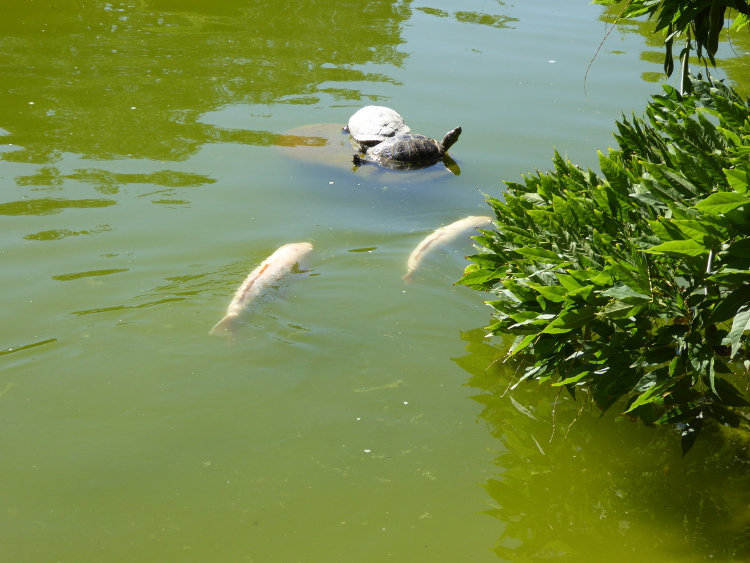 koi and turtles