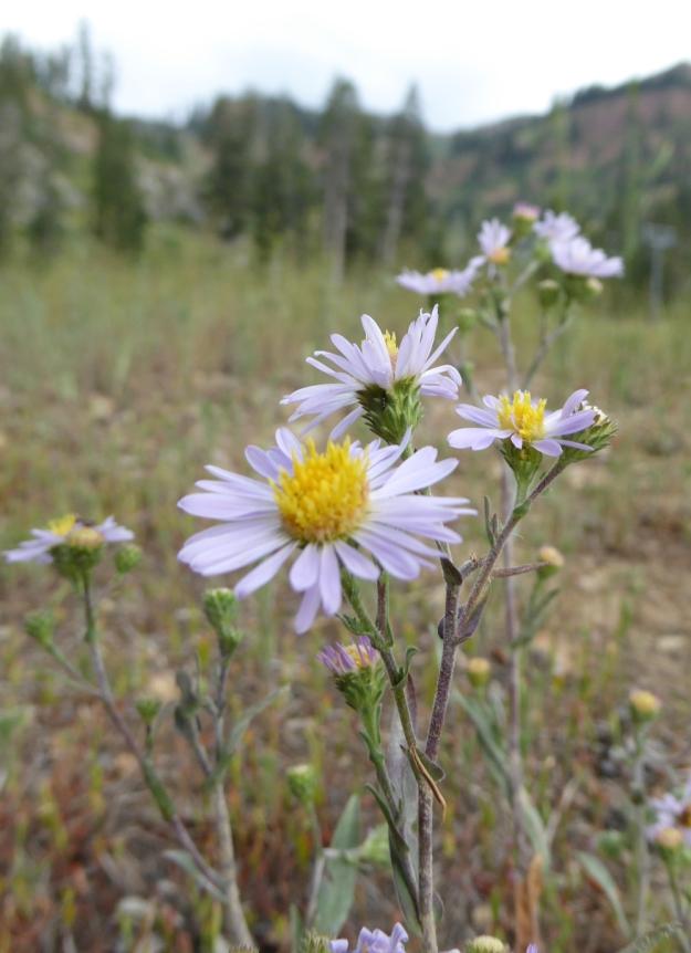 Sierra-Wildflowers