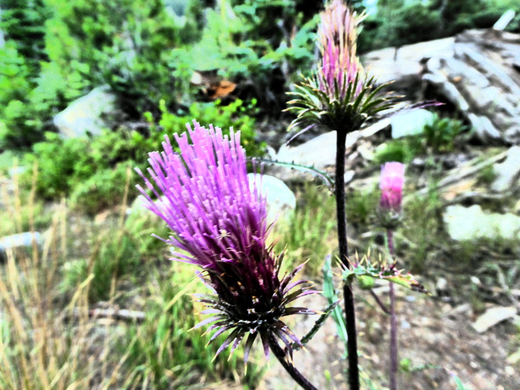 thistle-wildflower-wordless-wednesday
