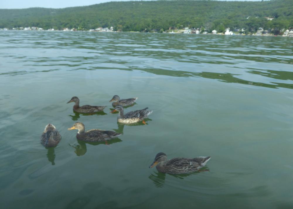 wordless-wednesday-ducks
