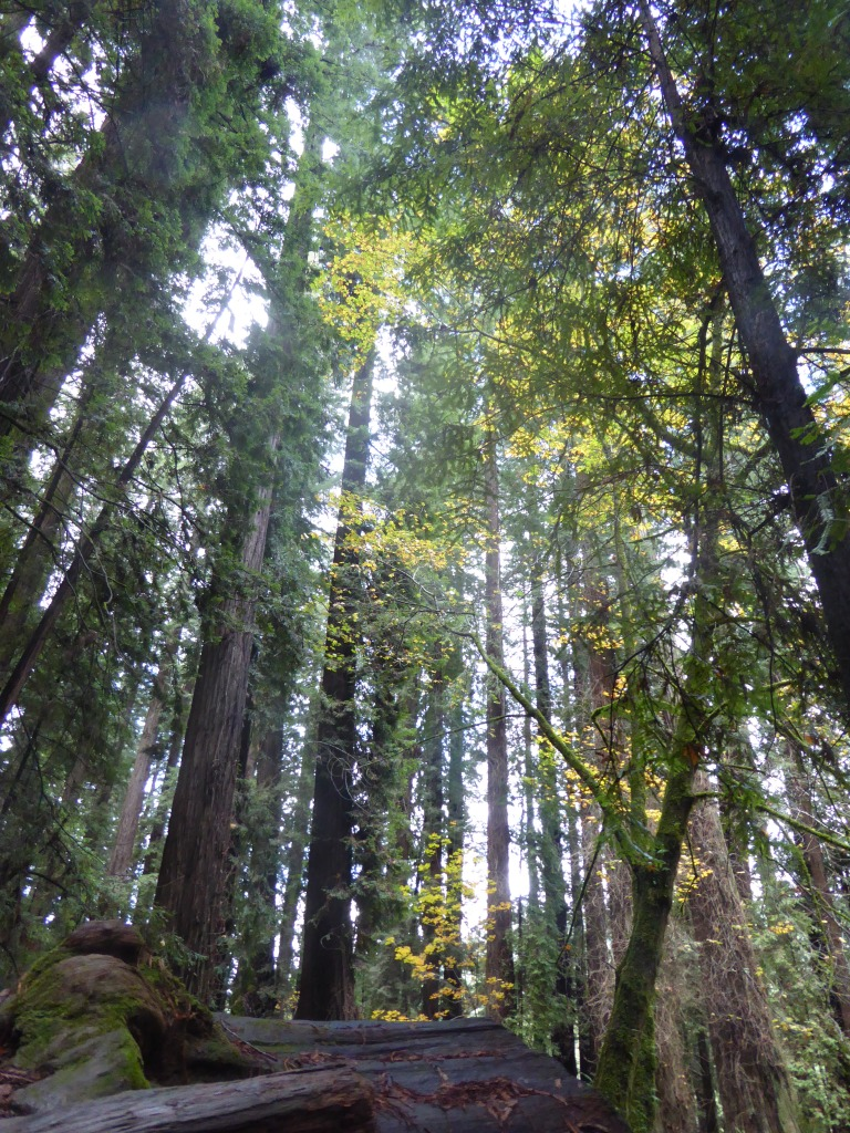 Avenue of the Giants, Humboldt California