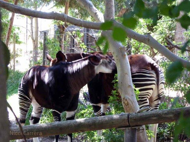 San-Diego-Safari-Zoo-19