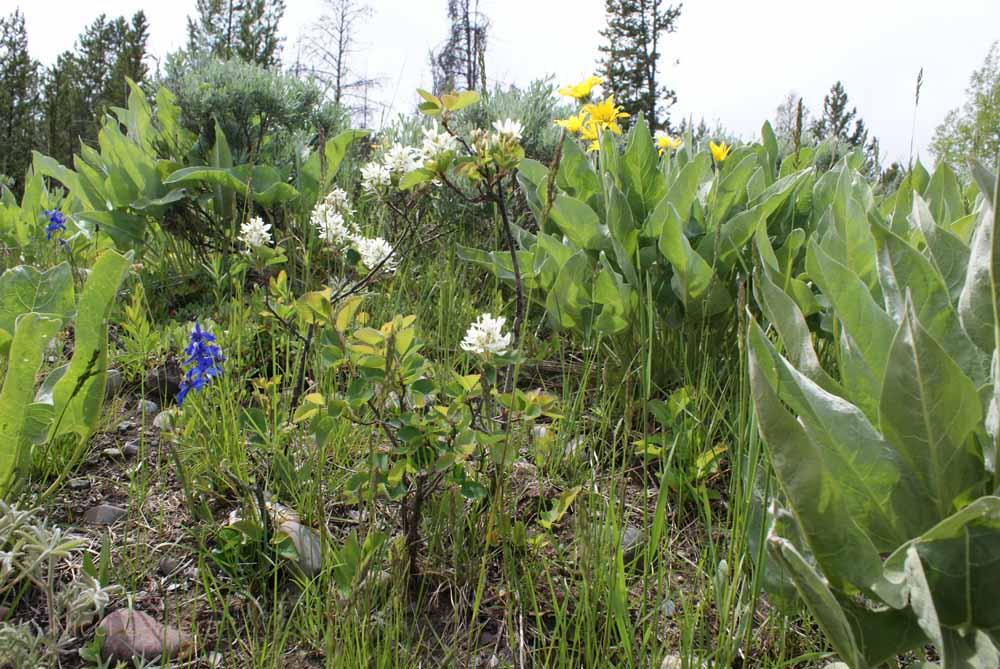 Sulphur buckwheat, I think
