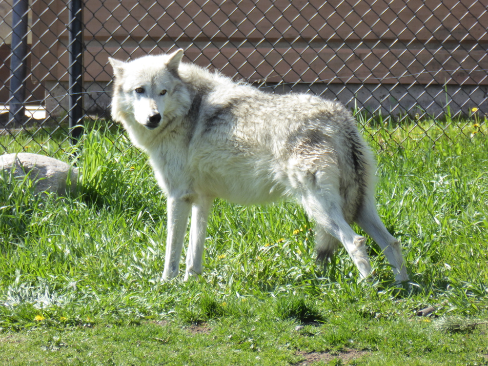 Wolf 2