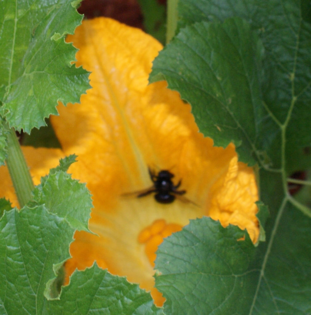 Bumble bee in squash flower