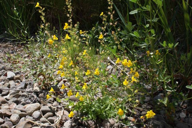 Wildflowers, Truckee River, California
