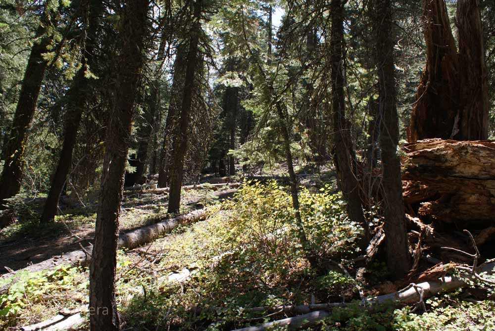 The forest next to the Truckee River