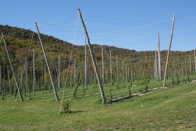 Growing hops for local breweries