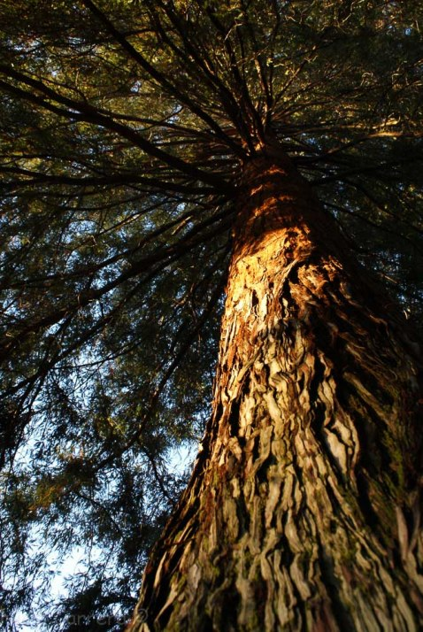 Redwood at first light