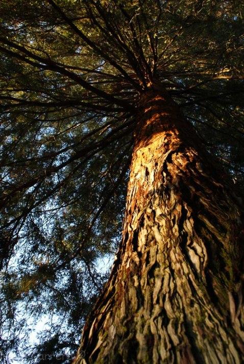 Redwood at first light