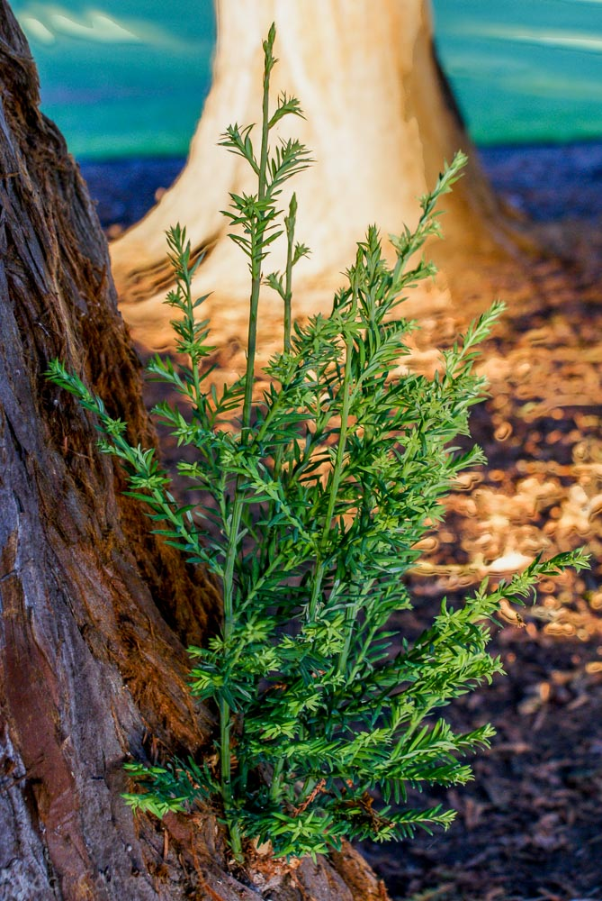 Redwood growth