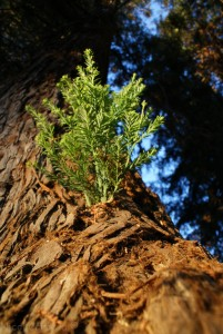 Redwood growth