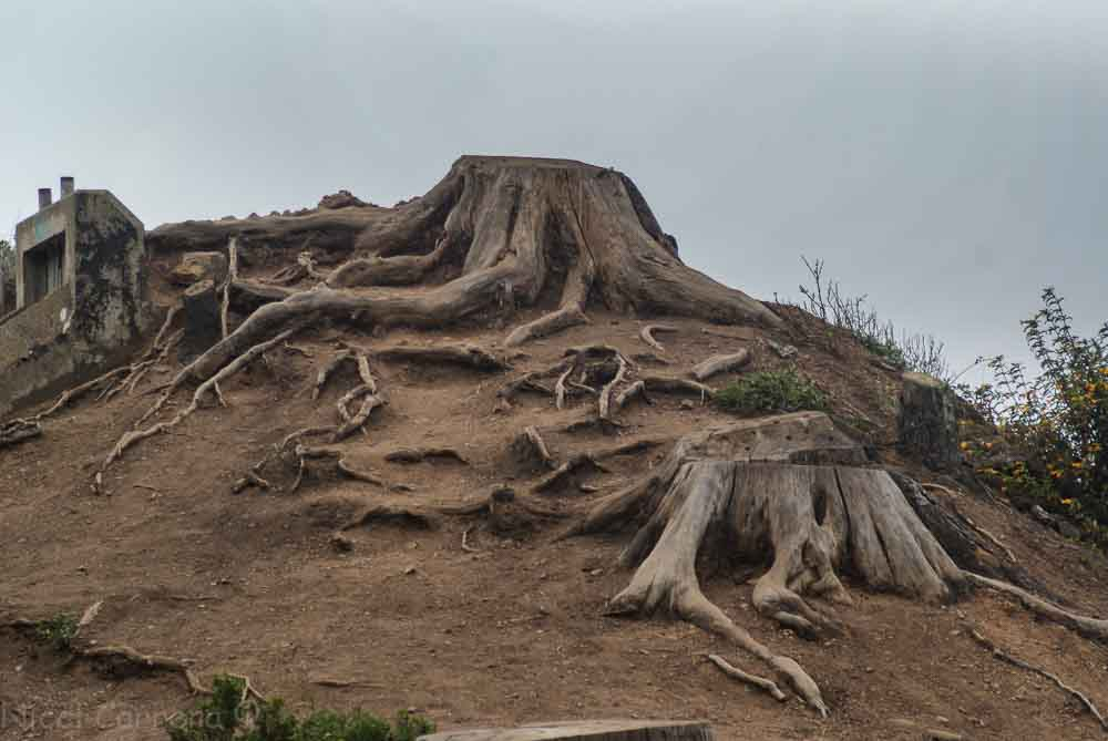Roots in the Marin Headlands