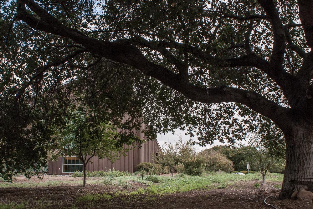 Saratoga library and a heritage oak tree