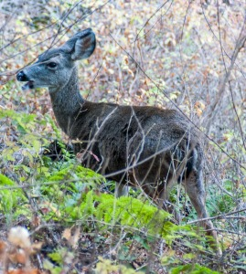 Doe eating in Rancho San Antonio Park, Cupertino California