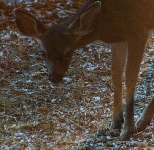 Fawn eating in Rancho San Antonio park