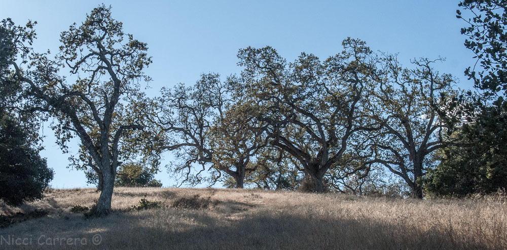 Oak trees with yellow grass on a hill