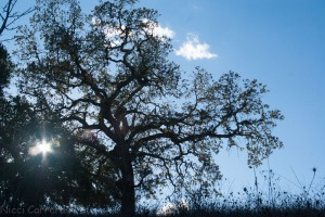 An oak in the sunlight