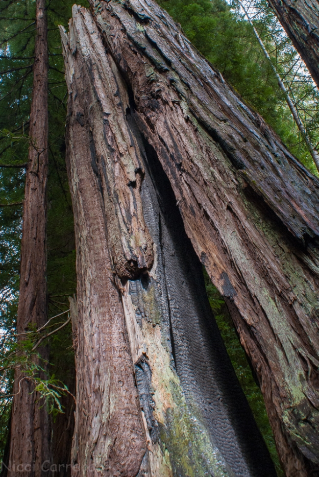 Tall redwoods-1