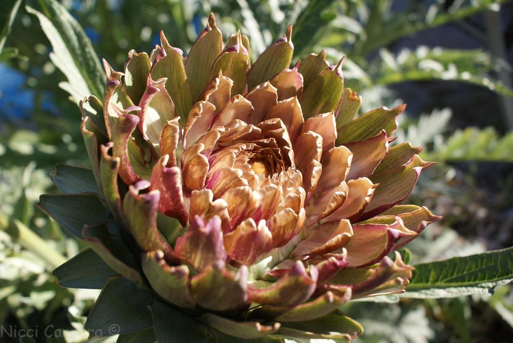 artichoke flowers-2