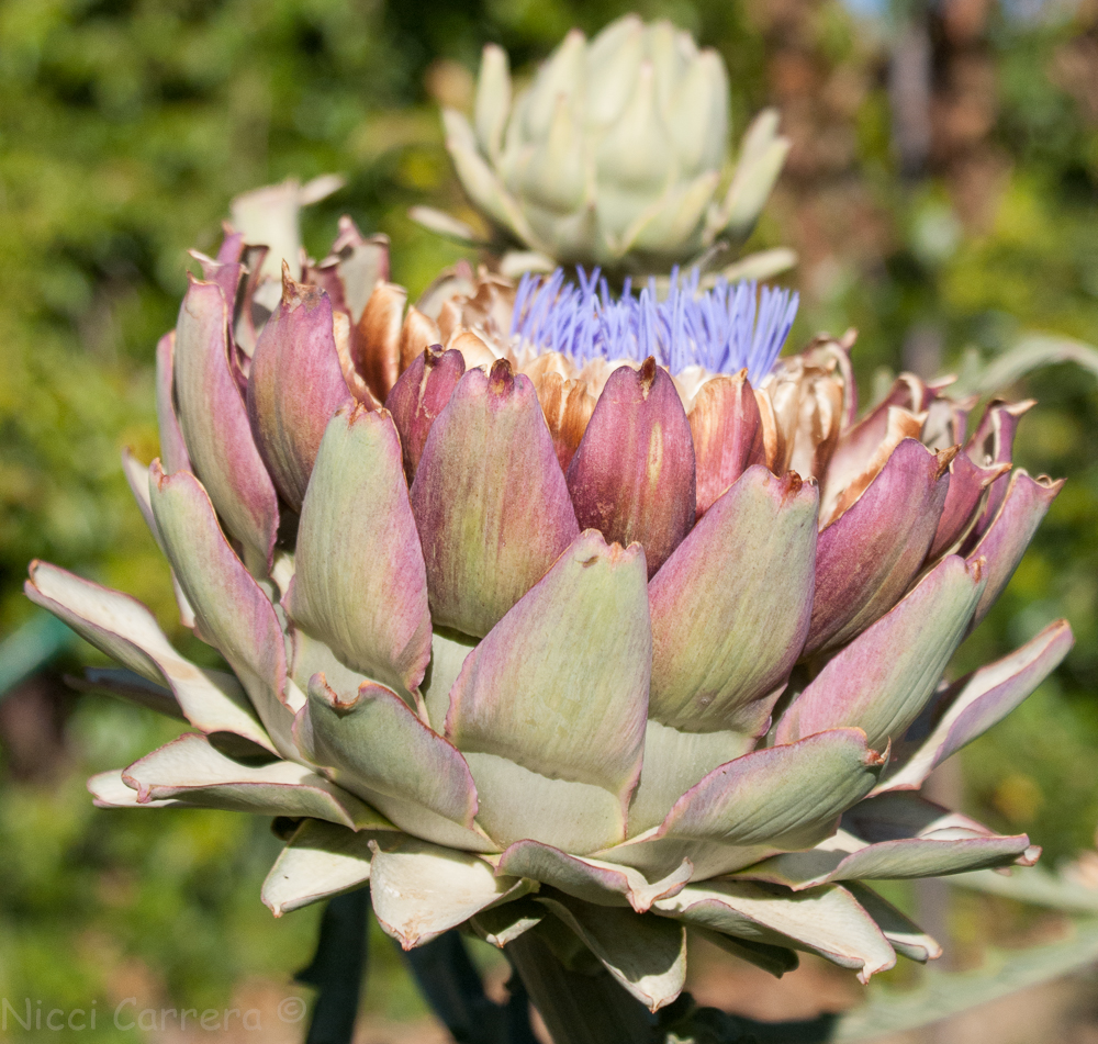 artichoke flowers-3