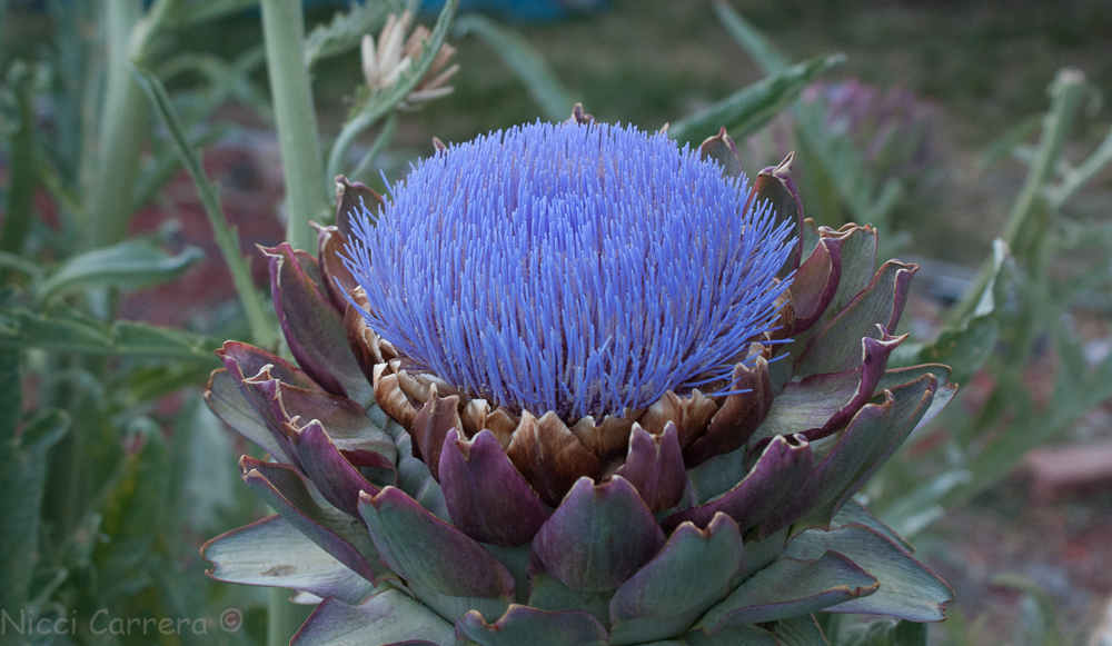 artichoke flowers-4