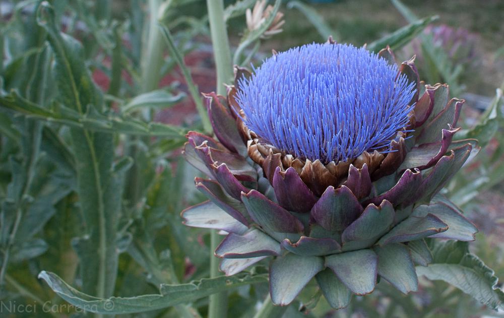 artichoke flowers-5