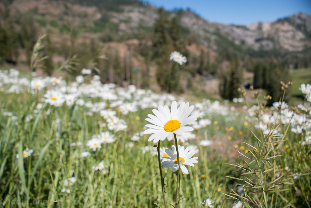 Sierra wildflowers-11