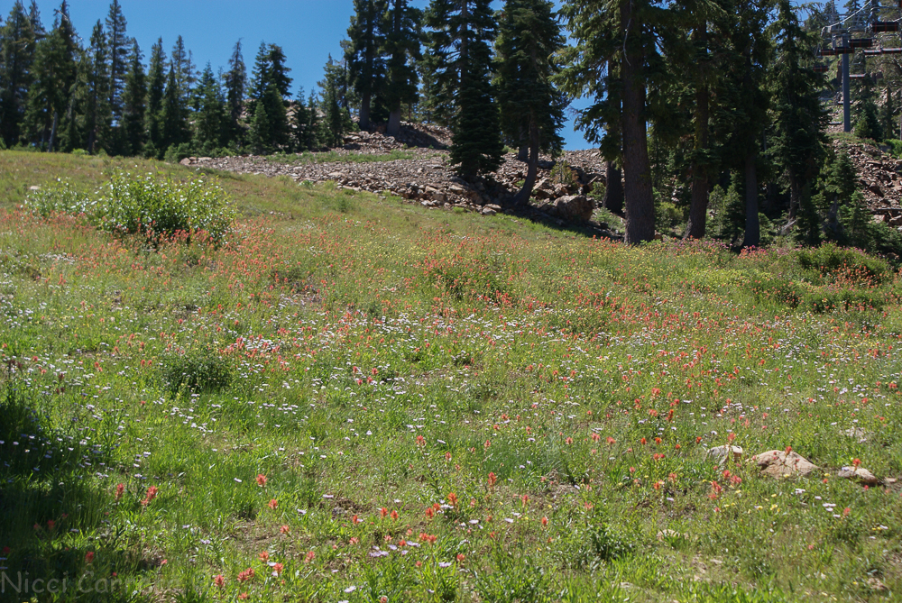 Sierra wildflowers-13