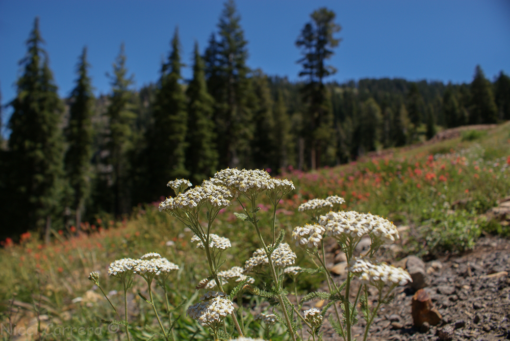 Sierra wildflowers-14