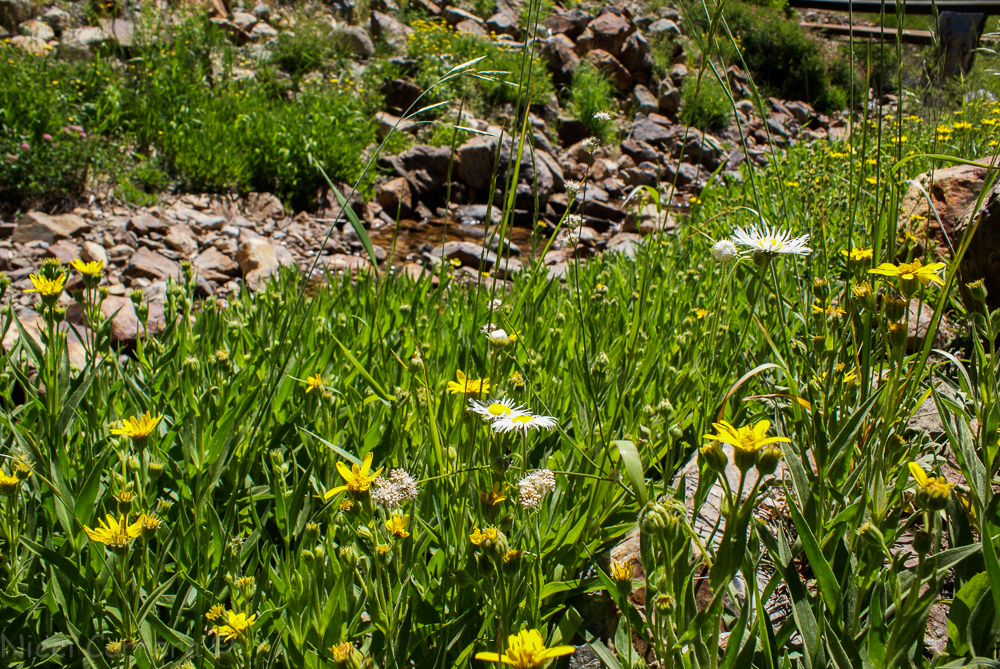 Sierra wildflowers-25