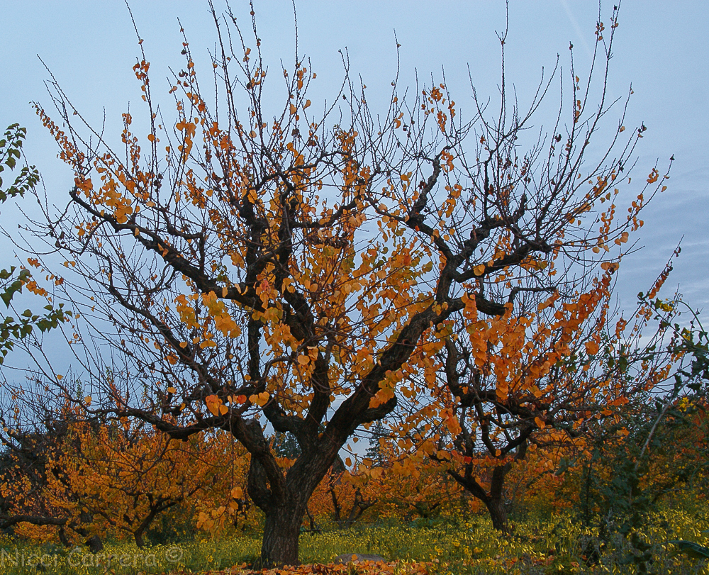 sunset-orchard-and-oak-1