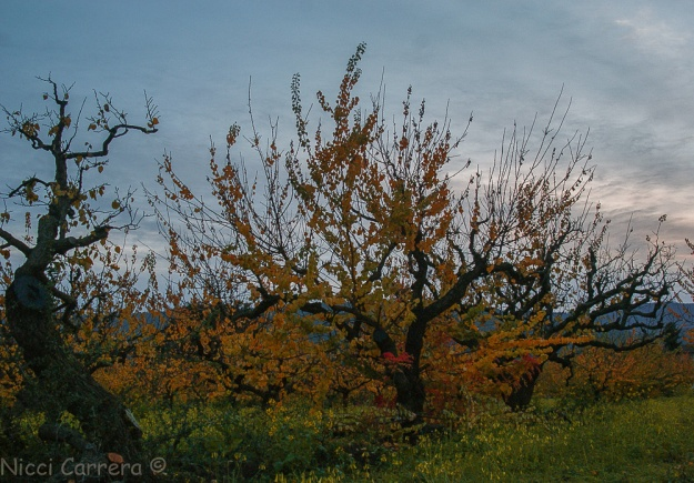 sunset-orchard-and-oak-2