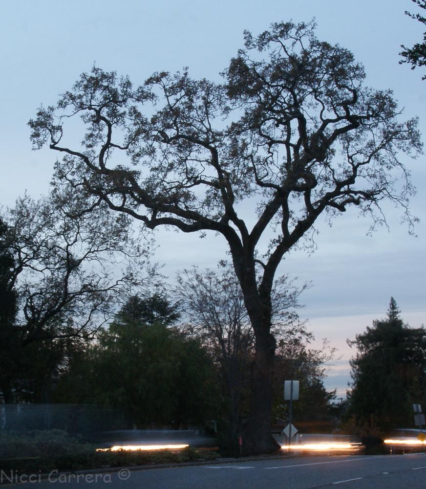 sunset-orchard-and-oak-3